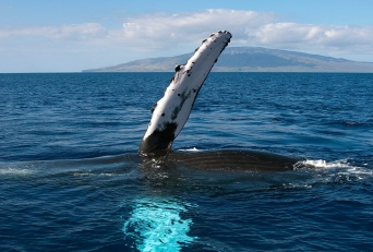 Best Maui Outdoor Activities Whale Watch