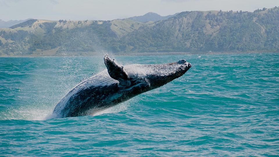 whale season in hawaii