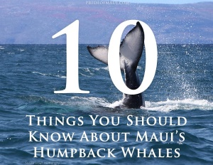 ten things you should know about maui's humpback whales