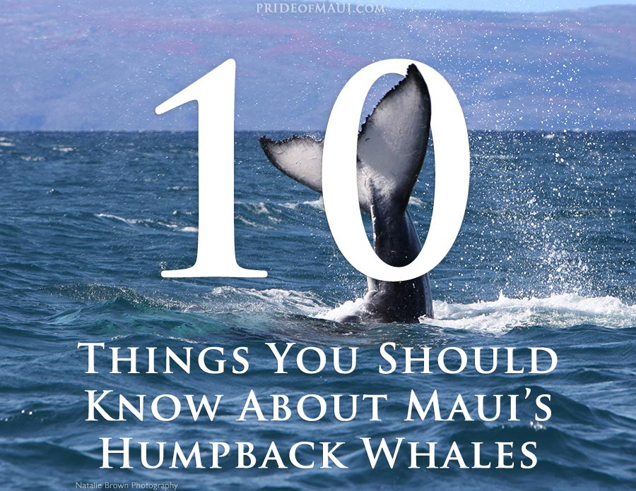 Top 10 Things About Maui's Humpback Whales