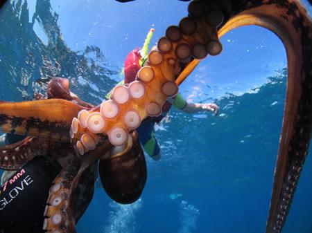 Common Octopus Swimming Common Octopus Swimming