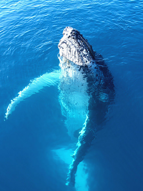 North Pacific Humpback Whale