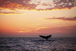 whale sunset sighting maui