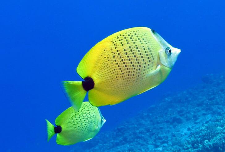 Four-spot Butterflyfish