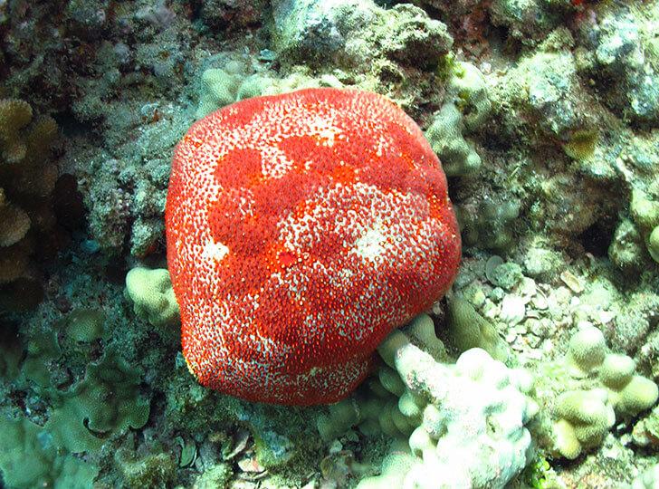 Pincushion sea star