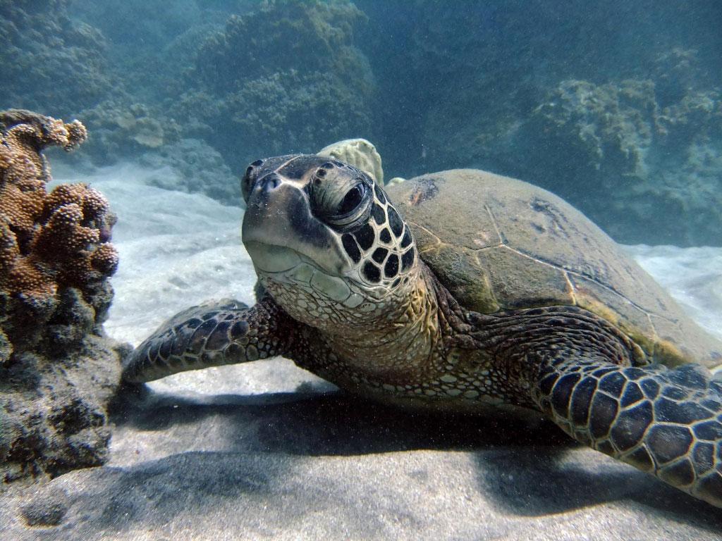 turtle town arches maui   hawaiian green sea turtles on maui