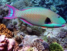 Parrotfish (Uhu)