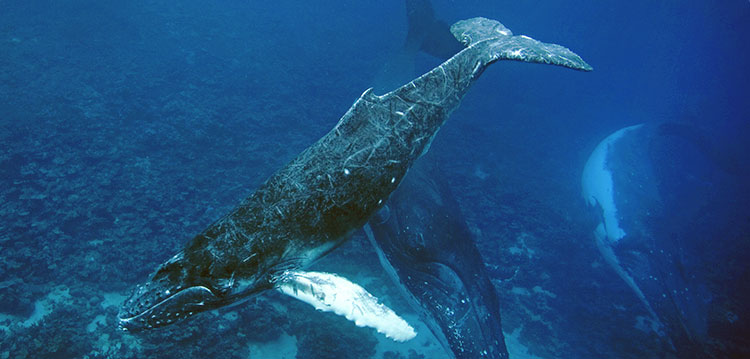 Whales conservation