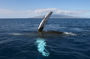 Humpback Whale Pectoral Slapping