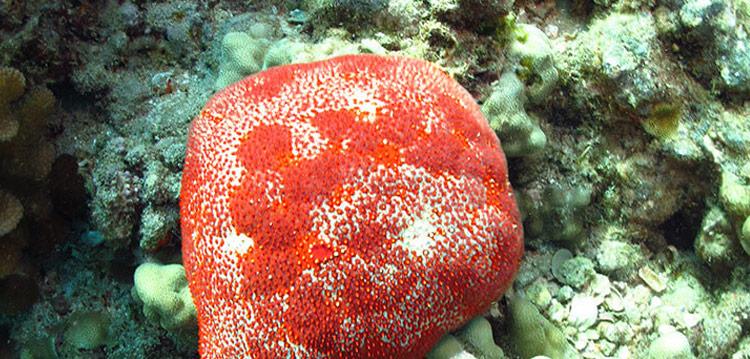 Pincushion Sea Stars