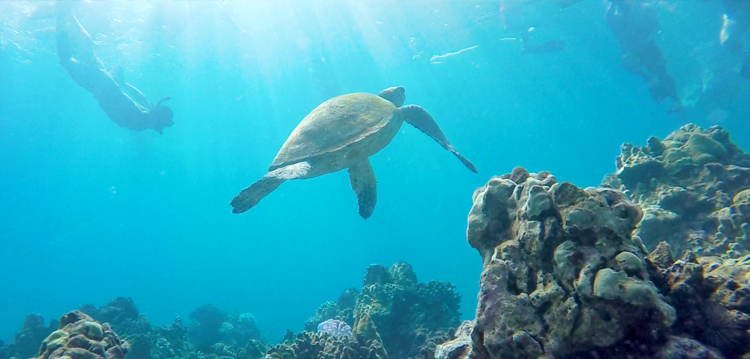 snorkeler at Turtle Town swimming above the coral reef in maui hawaii