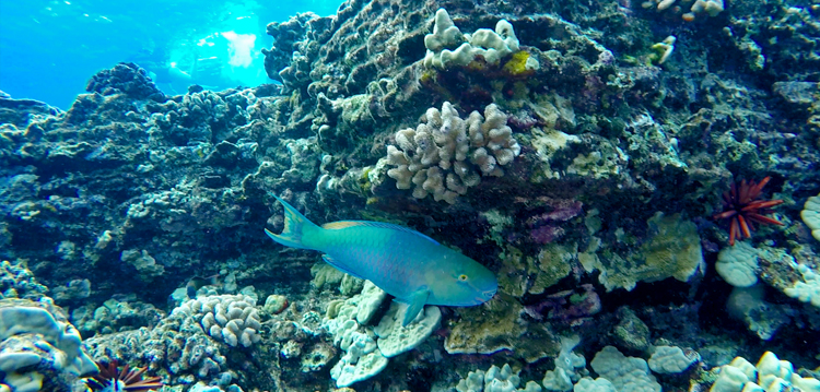 parrot fish swimming on a coral reef at olowalu in maui hawaii