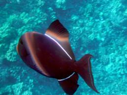 Black Triggerfish