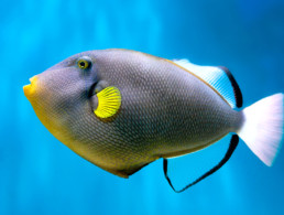 Reef Triggerfish