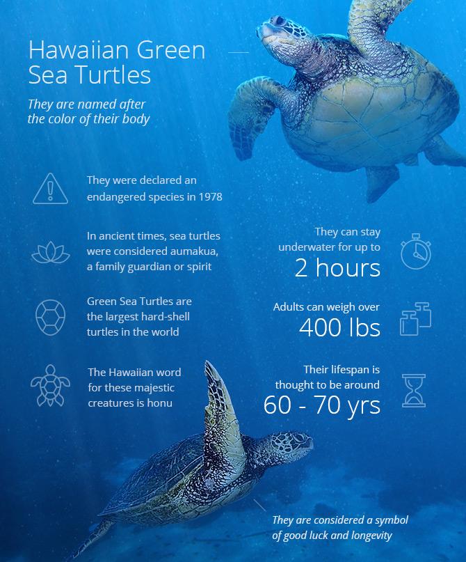 Hawaiian green sea turtles infographic