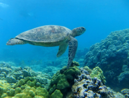 Green sea turtle floating casually at the ocean floor.