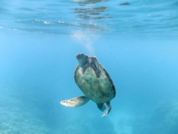Green sea turtle diving from the ocean surface.