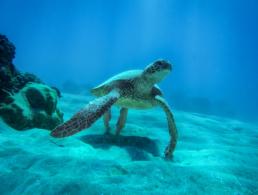 Green sea turtle basking in the sun rays reaching the sandy ocean floor.