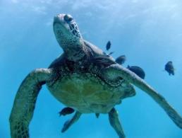 Green sea turtle swimming amidst a small school of fish.