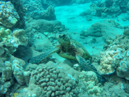 Green sea turtle climbing on a terrain of coral reef at the sea floor.