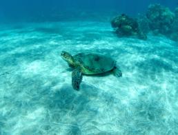 Green sea turtle sunbathing on the sandy ocean floor.