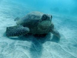 Green sea turtle appears to be falling asleep.
