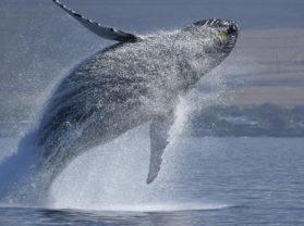 Best Maui Hawaii Whale Breach Coral Gardens