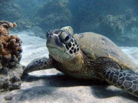 Maui Hawaii Best Snorkel Cruise Location Turtle Town