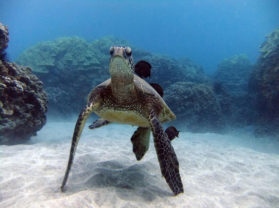 Top Hawaii Snorkel Locations Maui Turtle Town