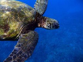 Maui Hawaii top Snorkel Location Turtle Town